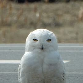 Snowy Owl with Attitude! by Kristine Nicholas - Novices Only Wildlife ( owl, bird of prey, nature, snowy owl, nature up close, birds, birding, face, birds of prey, white, road, bird photography, street, bird, owls, nature close up, wild, snowy, marsh, wildlife,  )