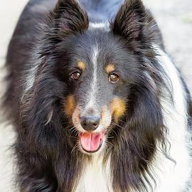 Tex by Dave Lipchen - Animals - Dogs Portraits ( shetland sheepdog )