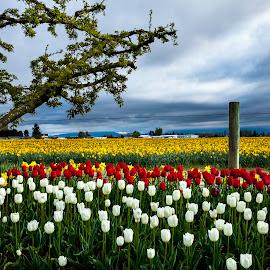 Tulip field by Lance Nguyen - Landscapes Prairies, Meadows & Fields