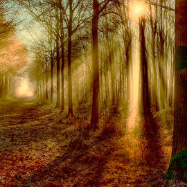 Soft gold by Egon Zitter - Landscapes Forests ( ray, lightbeam, beam, forest, woods, sofr )