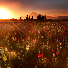 field flower atn sunshine by Cristobal Garciaferro Rubio - Landscapes Prairies, Meadows & Fields ( fielflower, popo, iztaccihuatl, popocatepetl, sunshine, flowers, flower, sun )