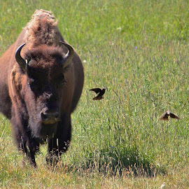 Bison with Birds by Karen Coston - Novices Only Wildlife ( nature, bison, wyoming, yellowstone national park, wildlife, american bison )