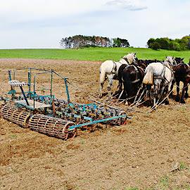 8 team horses by Jon Radtke - Landscapes Prairies, Meadows & Fields ( 8 team horses )