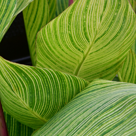 Calypso Calamity by Liz Rosas - Nature Up Close Leaves & Grasses ( stripes, leaves, striped leaves, line, lime green, tropical plants, lines )