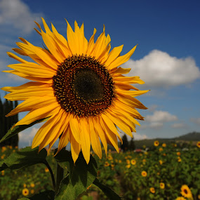 Great sunflower by Cristobal Garciaferro Rubio - Nature Up Close Flowers - 2011-2013 ( field, clouds, sunflower, flowers, flower, sun )