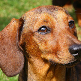 Selene in the Sunshine by Chrissie Barrow - Animals - Dogs Portraits ( smooth, pup, young, portrait, eyes, red, ear, female, pet, whiskers, dachshund (miniature smooth), fur, puppy, dog, nose, coat, tan )