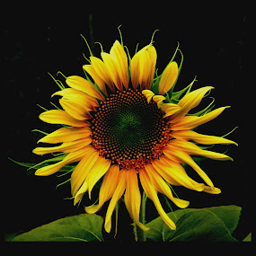 Sunflower by Patti Westberry - Nature Up Close Flowers - 2011-2013 ( sunflower on stem, sunflower, sunflower head, flower, yellow petals,  )
