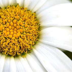 Shasta by Benjamin Howen III - Nature Up Close Flowers - 2011-2013 ( shasta, pedals, white, daisy, yellow, flower )