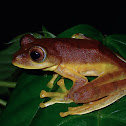 Harlequin Flying Frog
