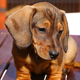 Cutie Pie by Chrissie Barrow - Animals - Dogs Puppies ( pup, frown, claws, portrait, eyes, wrinkles, red, pet, dachshund (miniature smooth), ears, puppy, legs, paws, dog, nose, black, tan, closeup )