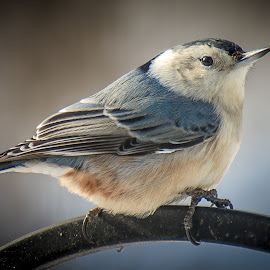 A Nutty Visitor by Gary Hanson - Animals Birds ( brighten, morning, nuthatch, visitor )