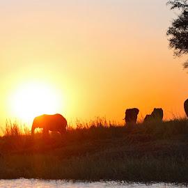 Elephants on the Chobe River at Sunset by Lisa Faith-Gregg - Animals Other