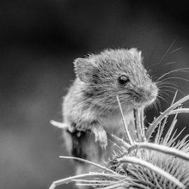 Mouse by Garry Chisholm - Black & White Animals ( mouse, harvest, mammal, nature, rodent, mice, garry chisholm )
