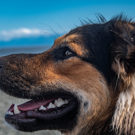 Profile by Darren Sutherland - Animals - Dogs Portraits ( beach dog, australian sheppard, german sheppard )