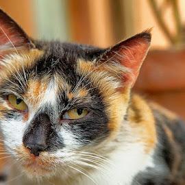 Portrait of a cat by Radu Eftimie - Animals - Cats Portraits ( cat, portrait )