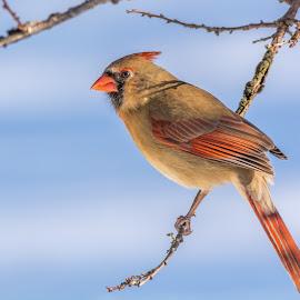 Female Northern Cardinal by Larry Pinkerton - Animals Birds ( cardinal, female, snow, wildlife, birds )