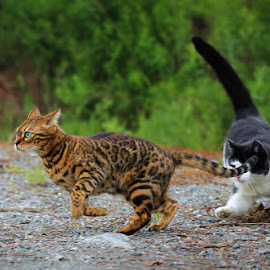 by Jane Bjerkli - Animals - Cats Playing