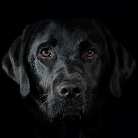 Black Lab by Linda Johnstone - Animals - Dogs Portraits ( glossy coat, black dog, dogs, lighting, labradors, cute, head, eyes )