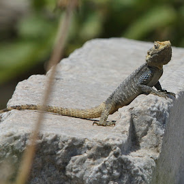 Living Among the Ruins by Cal Brown - Animals Reptiles ( lizard, travel location, greece, delos, reptile, travel photography, island, animal )