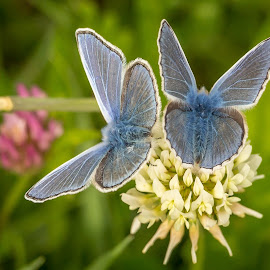 by Tony Walker - Animals Insects & Spiders ( butterfly, nature, blue, common blue, insects )