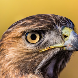Red-tailed Hawk Closeup by Carl Albro - Animals Birds ( bird, bird of prey, hawk )