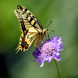 Swallowtail by Heather Aplin - Animals Insects & Spiders (  )