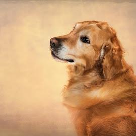 Bentley by Jen St. Louis - Animals - Dogs Portraits ( golden retriever, pet portrait, golden, portrait, dog, pet,  )