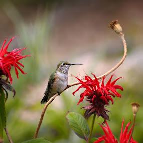 by Katie McKinney - Animals Birds ( bird, animals, red, nature, hummingbird, rocky mountains, colorado, wildlife, flowers, birds, hummingbirds )
