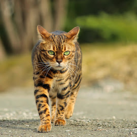 Kokos by Jane Bjerkli - Animals - Cats Portraits ( expression, walking, cat, bengal cat, green, pet, outdoors, spring, bengal, eyes, animal )