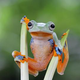 Tree Frog by Kurit Afsheen - Animals Amphibians ( macro, animals, frog, tree frog, amphibian, toad, closeup )