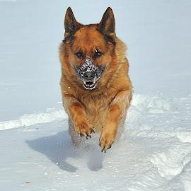 Full steam ahead! by Sue Delia - Animals - Dogs Running ( german shepherd, dog, running )