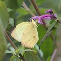 Salome yellow