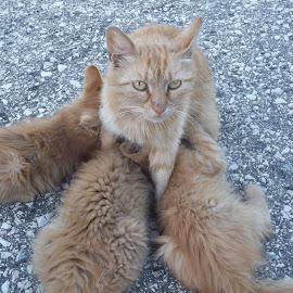 Семейство by Georgi Kolev - Animals - Cats Kittens ( котенца., асфалт., котка., ден., светлина. )