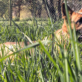 Wolfdog by Carla Coanda - Animals - Dogs Playing ( park, wolfdog, grass, green, dog, springtime, spring, outside, animal,  )