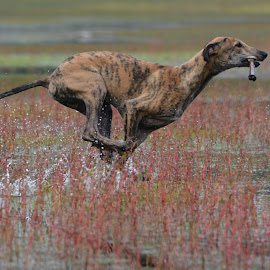 Troy on the move. by Jeanne Van Beers - Animals - Dogs Running ( waterscape, happy, lovely, greyhound, running )