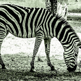 by Mohsin Raza - Black & White Animals (  )