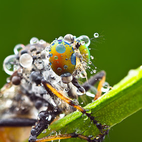 robber flies by ธเนศ ขวยไพบูลย์ - Animals Insects & Spiders ( canon, macro, insect )