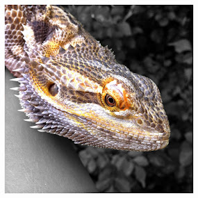 Bearded Dragon by Gareth  Evans - Instagram & Mobile iPhone ( wild, pet, dragon, bearded dragon, reptile )