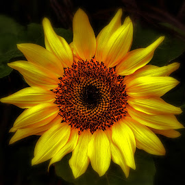 Sunflower by Cora Lea - Flowers Single Flower (  )