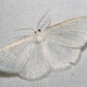 Virgin moth