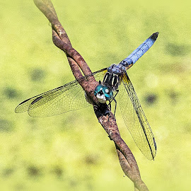 dragonfly on barbed wire by Rita Flohr - Novices Only Wildlife ( water, insect, dragonfly, pond )