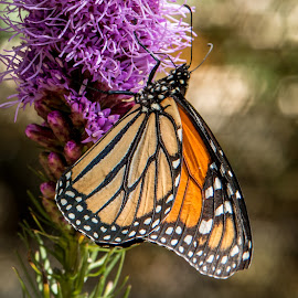 Monarch by Laurie Calef - Animals Insects & Spiders ( orange, butterly, monarch, insect,  )