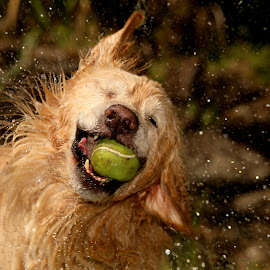 Catch of the Day by Ricardo Q. T. Rodrigues - Animals - Dogs Playing ( ball, catch of the day, splash, dog, golden )
