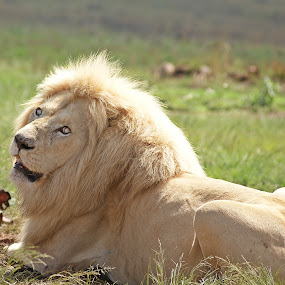 Interuption by Charmane Baleiza - Animals Lions, Tigers & Big Cats ( charmane baleiza, lion, big cats, white lion, wildlife, male lion )