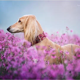 Flower Power by Maja Lesar - Animals - Dogs Portraits ( nikon, saluki, pink, springtime, photo, dog, field flower, dog portrait )