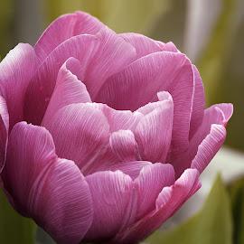 Magenta Petals by Sandra Hilton Wagner - Flowers Single Flower ( spring, magenta, single flower, petals, open, flower,  )