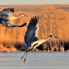 Homing by Rita Taylor - Animals Birds ( water, flight, sunset, evening, birds )