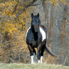 WARRIOR by Cynthia Dodd - Novices Only Pets ( animals, colorful, pet, fall, horse, farmland, big )