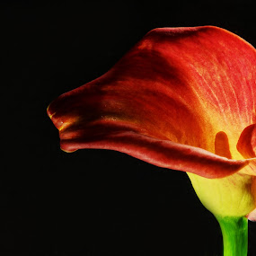 Backlit Calla by Camruin Kilsek - Nature Up Close Flowers - 2011-2013 ( calla lily )