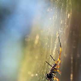 St Andrews Spider in the Afternoon Sun by Lynnie Taylor - Nature Up Close Webs ( cobweb, spider, bokeh )